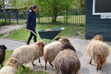Shamira voert de oussant schaapjes